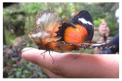 Beautiful butterflies at Simply Butterfly center in Bohol island