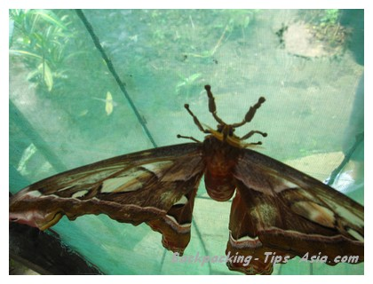 A huge moth at Simply Butterflies Center in Bohol island
