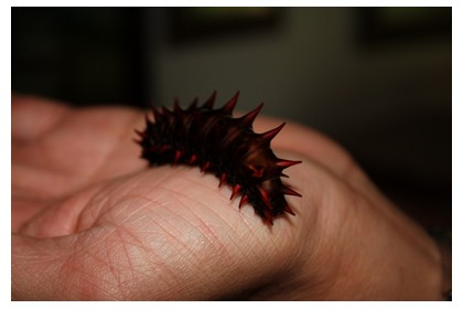 Red larvae at Simply Butterflies center in Bohol island