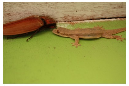 Bug and gecko at Chocolate Hills, Bohol