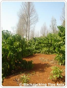 Coffee plantation in Bolaven