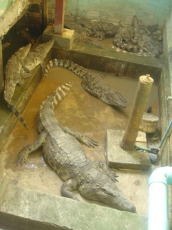 Crocodiles at Dead Fish Tower in Siem Reap, Cambodia