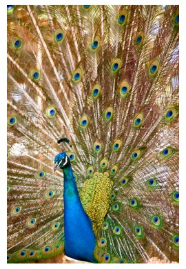 Peacock in India, ©iStockphoto.com/Noam Armonn