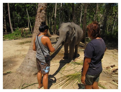 Feeding a baby elephant on Koh Pha Ngan, Thailand