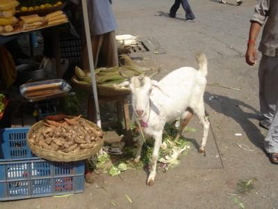 Goats in Mumbai, India