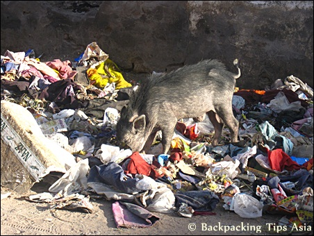 Pigs and garbage in Jaipur, Rajasthan, India