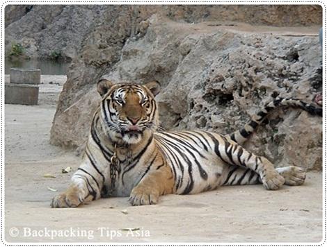 A tiger at the Tiger Temple in Kanchanaburi, Thailand