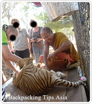 A monk with one of the tigers at The Tiger Temple in Kanchanaburi, Thailand