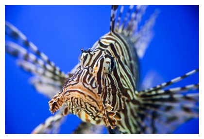 Lion fish, ©iStockphoto.com/David Pedre