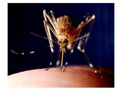 Mosquito biting, ©iStockphoto.com/Christopher Badzioch