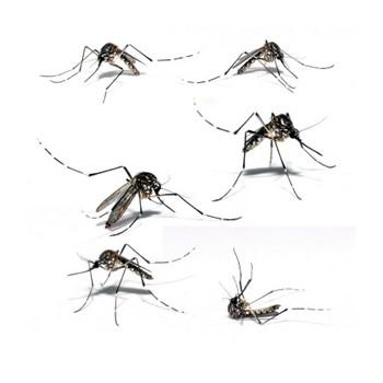 Mosquitoes, ©iStockphoto.com/Vinicius Ramalho Tupinamba