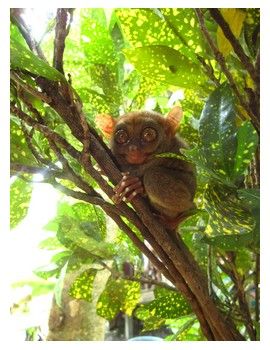 A tarsier sitting on a tree branch at a captive display in Bohol Philippines