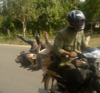 Pigs strapped on the back of a motorcycle in Cambodia