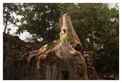 Dead tree at Preah Khan temple site
