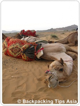 Camel in Pushkar, India
