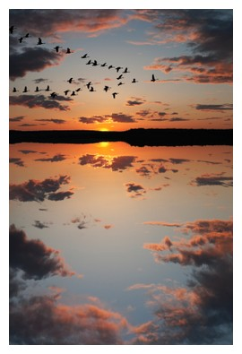 Canadian geese, ©iStockphoto.com/Gord Horne