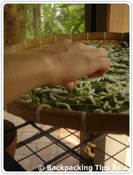 Silk worms at Ock Pop Tok in Luang Prabang