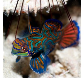 Mandarin fish in Sipadan