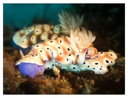 Nudibranches at Sipadan, Borneo