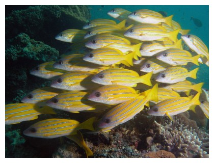 Yellow snappers at Sipadan, Borneo