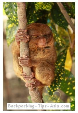 The cute Philippine tarsier in Bohol