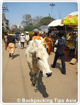 A cow in Varanasi, north India